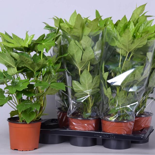 Fatsia Japonica 17cm tray plant
