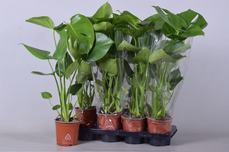 Monstera 14cm tray plant