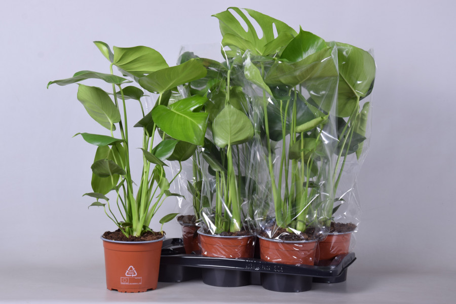 Monstera 17cm tray plant